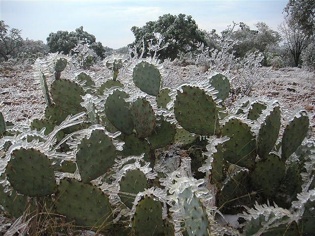 Nopal Cactus Frozen